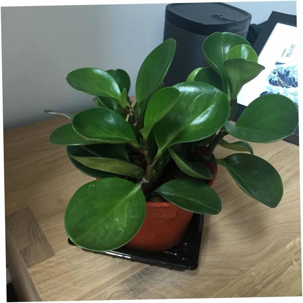 rubber plant (skillshare.com)