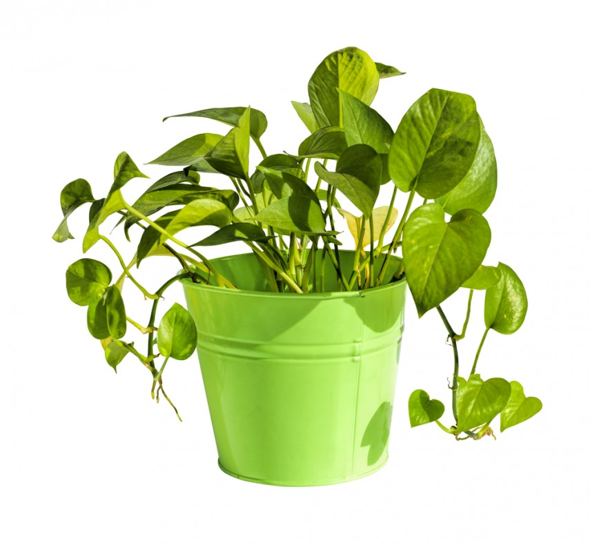 Vastu Tips To Keep Money Plant At Home on house plant support, house plant diagnosis, house plant lighting, house plant safety, house plant maintenance, house plant room, house plant marketing, house plant construction, house plant texture, house plant people, house plant design, house plant scale, house plant search, house plant identification, house plant benefits,